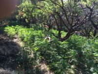 CDFW Wardens Raid Large Illegal Pot Grow in  Jack London State Park