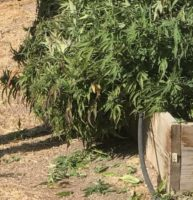 Mexico Man Pleads Guilty to Cultivating Marijuana In Sequoia National Forest