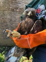 Two CDFW Officers Help Save Golden Eagle Stuck in UP Train Engine