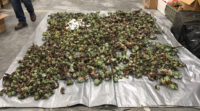 CDFW Wildlife Officers Arrest Three for Poaching Succulents in Humboldt County