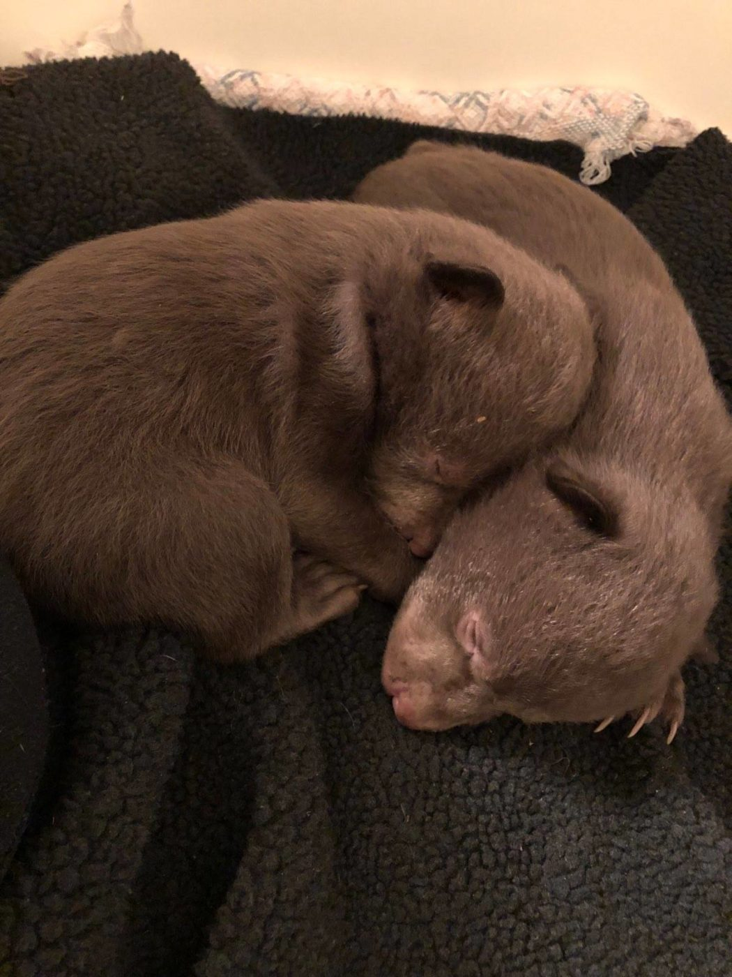 CDFW Wardens Investigating Orphaned Bear Cubs