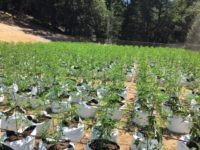 Humboldt County Conducts 4-Day Operation Targeting Illegal Cannabis Cultivation
