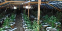 Siskiyou County Sheriff's Office & Allied-Agency Partners Seize 4,432 Illegal Marijuana Plants