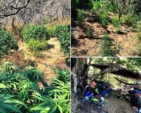 State Park Peace Officers Uncover Illegal Cannabis Grows at Robert Louis Stevenson and Sugarloaf Ridge State Parks